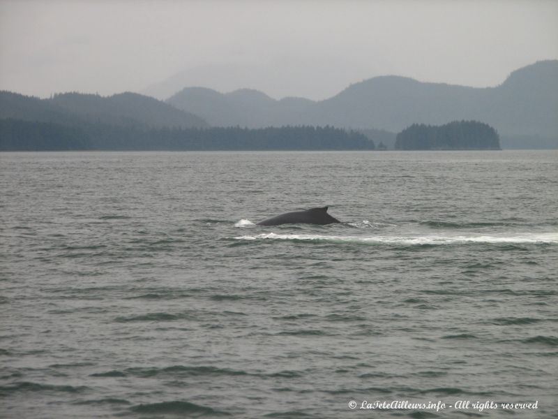 Une humback whale apparait !