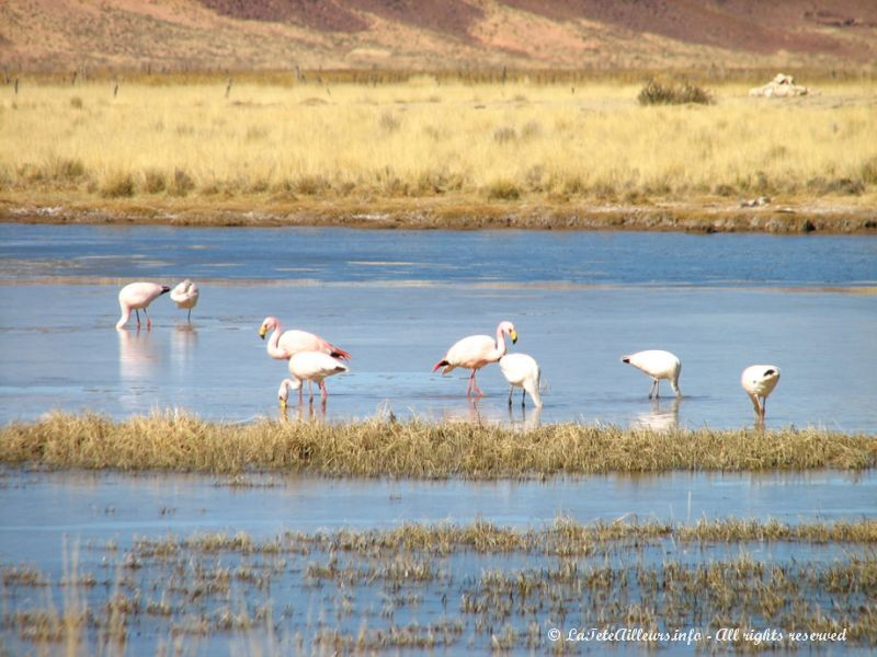 Flamants roses d'Argentine