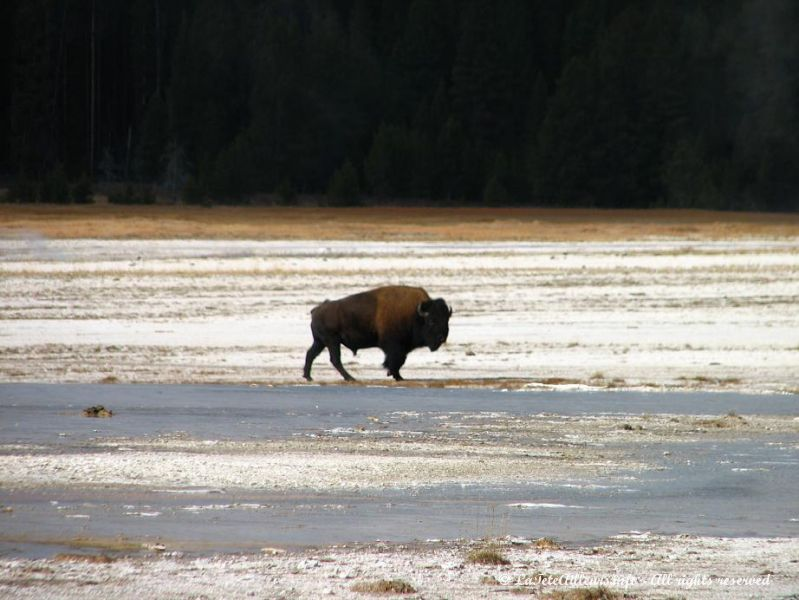 Un bison solitaire a Yellowstone
